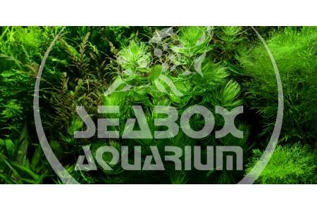 Ceratophyllum Demersum 'Foxtail'