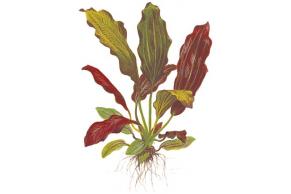 Echinodorus 'Barthii'