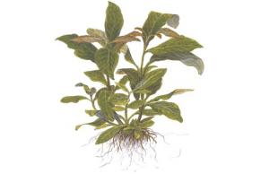 Hygrophila 'Siamensis'