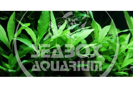 Hygrophila 'Siamensis 53B'