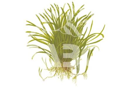 Lilaeopsis Brasiliensis