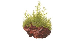 Taxiphyllum Barbieri