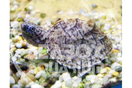 Sternotherus Carinatus