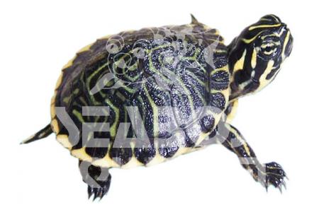 Pseudemys Peninsularis
