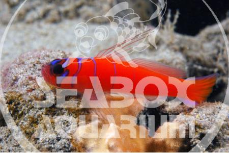 Lythrypnus Dalli