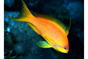 Pseudanthias Squamipinnis