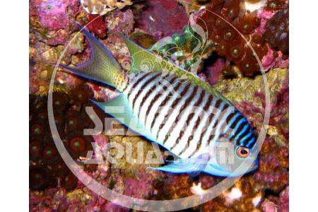 Genicanthus Melanospilos