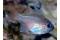 Apogon Leptacanthus