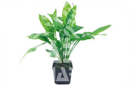 Echinodorus 'Bleherae'
