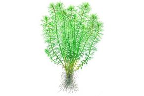 Myriophyllum 'Guyana'