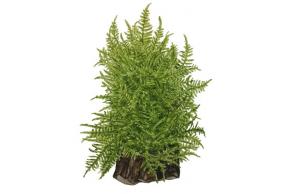 Taxiphyllum 'Taiwan Moss'