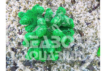 Stylophora Verde Fluo