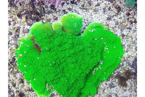 Montipora Foliosa Verde