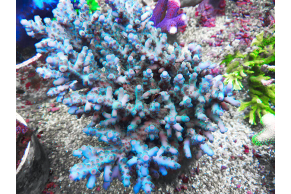 Acropora Loripes XL