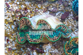 Tridacna Dorata - 6 cm