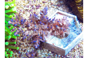 Acropora Ice Fire