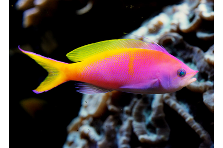 Pseudanthias Bartlettorum
