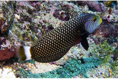 Novaculichthys Taeniourus