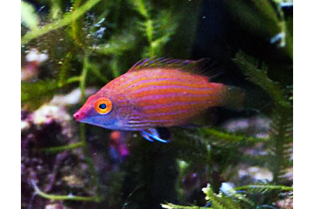 Pseudocheilinops Ataenia