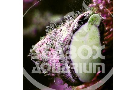 Astraea Tectum