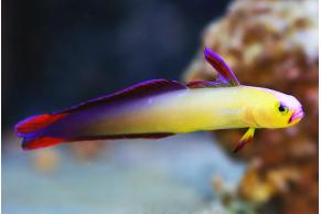 Nemateleotris Exquisita