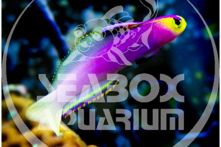 Nemateleotris Helfrichi