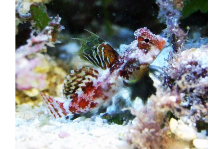 Synchiropus Marmoratus