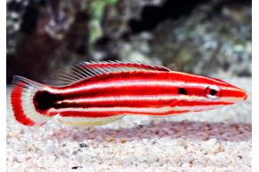 Bodianus Sepiacaudus