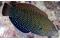 Anampses Caeruleopunctatus