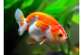 Ranchu Mix