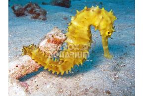 Hippocampus Semispinosus