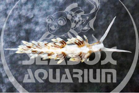 Berghia Verrucicornis