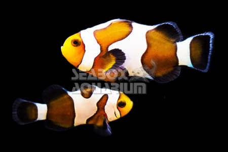 Amphiprion Ocellaris 'Royal Fancy White'