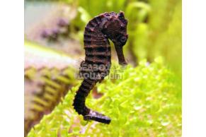 Hippocampus Kuda - COPPIA