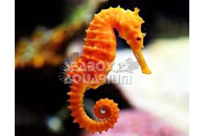 Hippocampus Reidi - COPPIA