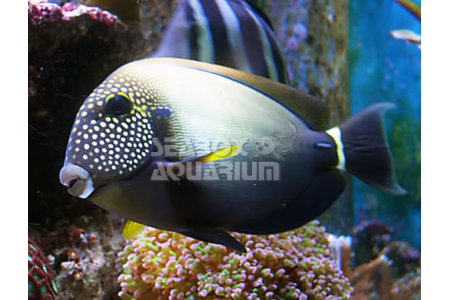 Acanthurus Maculiceps