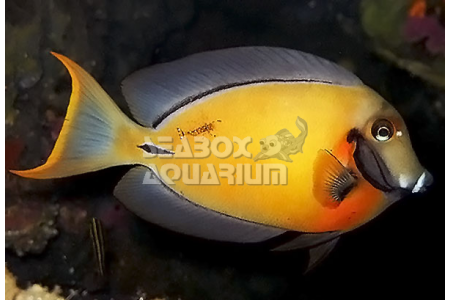 Acanthurus Pyroferus