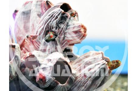 Acanthemblemaria Macrospilus