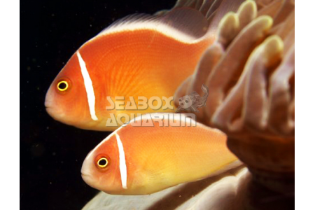 Amphiprion Perideraion